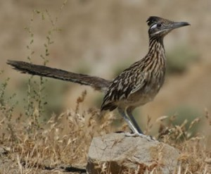 This ground-dwelling cuckoo known as a roadrunner may have coyotes to worry about in some places but there are fewer high places on which to launch a dangerous bank vault. Bureau of Land Management photo/S. Schmidt.